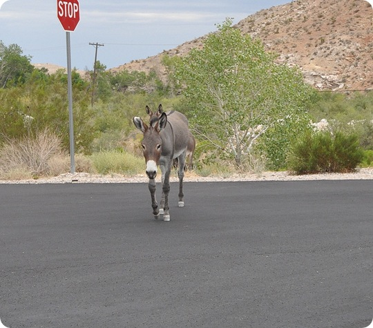 burros across road