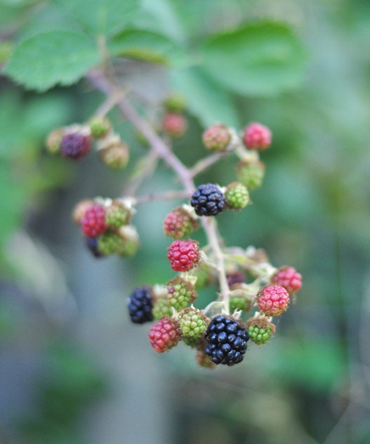 blackberries ripening