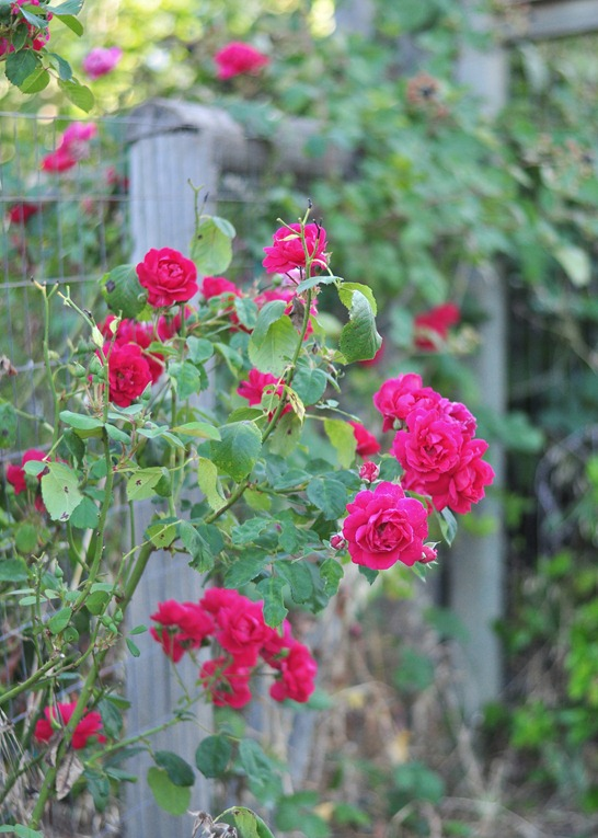 summer roses on fence