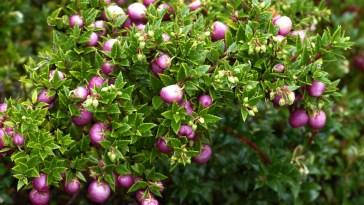 hierbas de la Patagonia