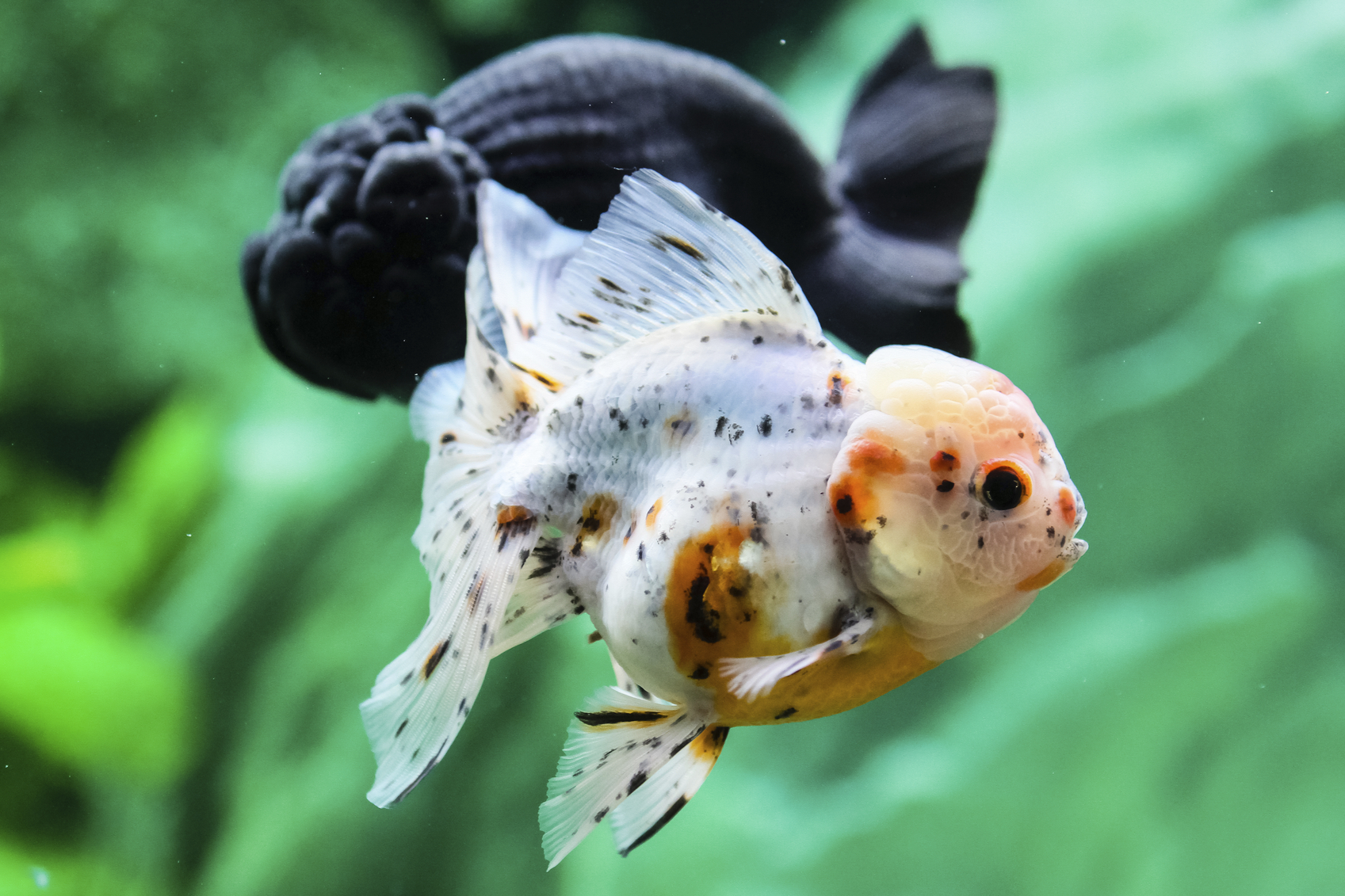 Fullsize Of Black Molly Fish