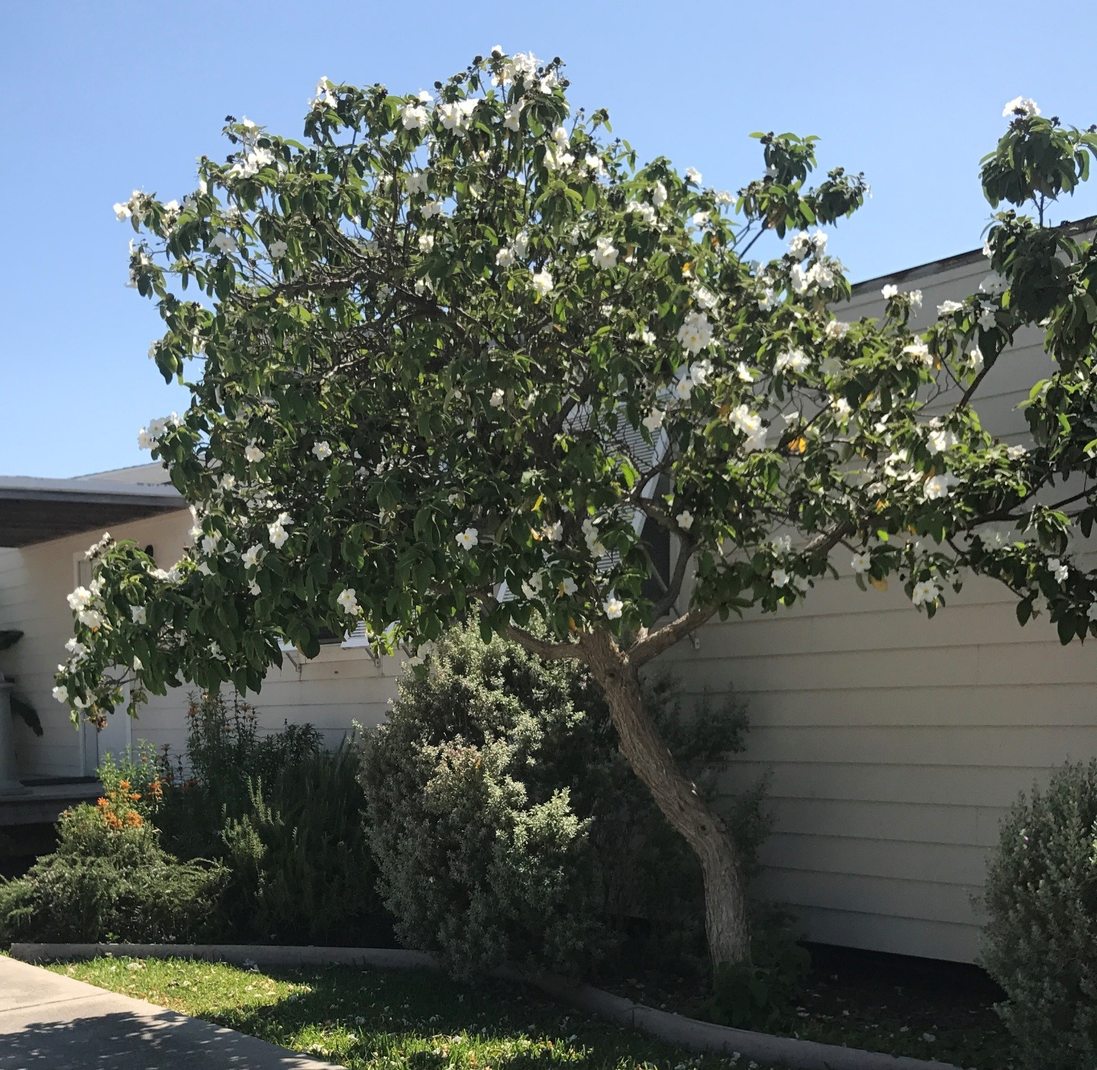 Fullsize Of Sweet Olive Tree