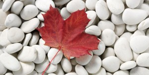 stock-photo-11016905-one-autumn-leaf-on-a-white-pebble-background