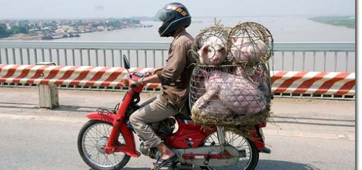 vietnam_pigs_on_bike