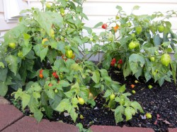 Small Of Ghost Pepper Plant