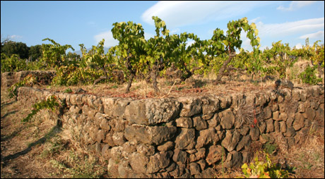 Vines in Mt. Etna