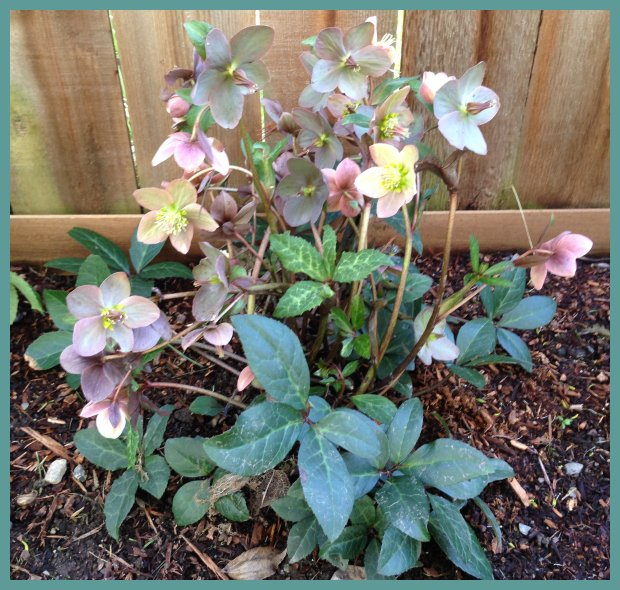 Helleborus x ballardiae Gold Collection® Merlin