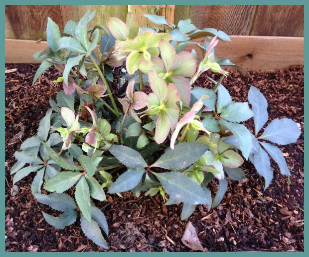 Helleborus x ericsmithii Gold Collection®  Monte Cristo