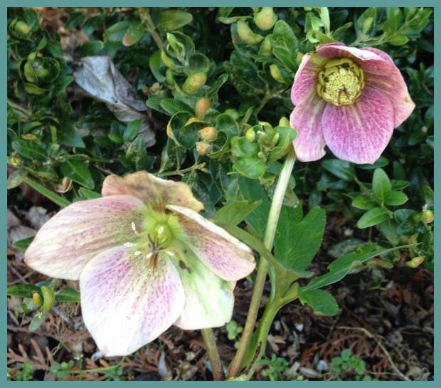 Helleborus x hyridus® Winter Jewels Aprictot Blush