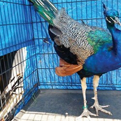 This peacock was captured by private animal control officer Dave Schlott, several police officers and a few residents at the Pusey Plantation in Upland.