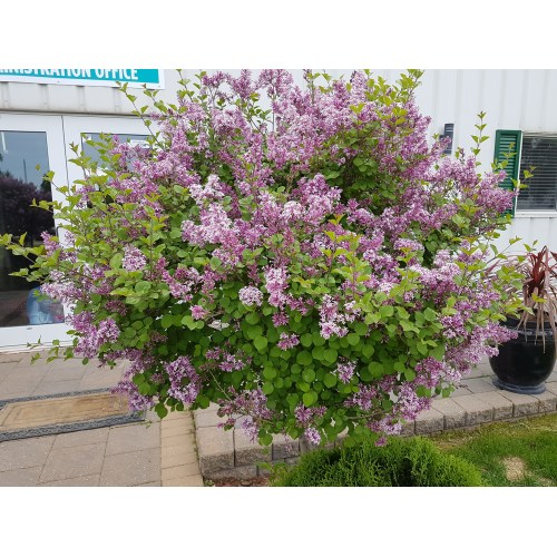 Medium Crop Of Dwarf Korean Lilac