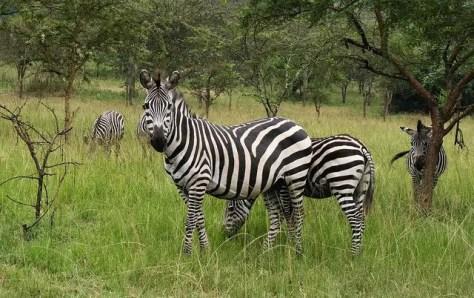 Zebra at Lake Mburo National Park, Uganda