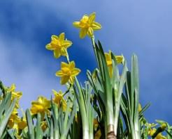 daffodils-2093307_640