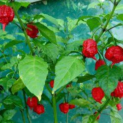 Small Of Carolina Reaper Plant