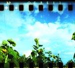 Spinner360_Sunflowers-001