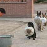 cani-polizia-cineses