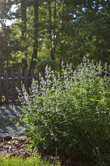 walkers_low_catmint 1 (1)
