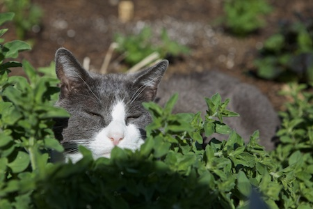 cats in herbs 6