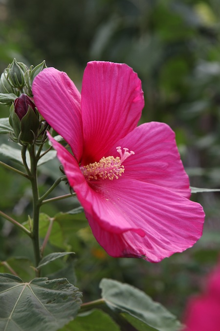 hardy-hibiscus