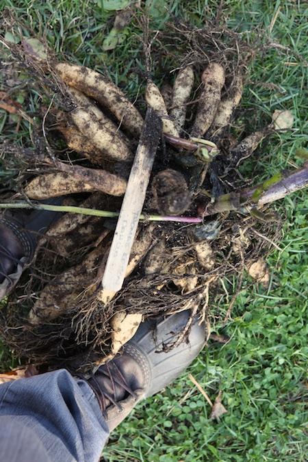 digging-up-dahlia-tubers-4