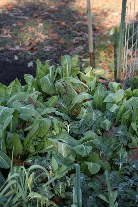 harvesting-belgian-endive-roots-1