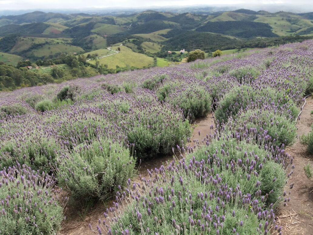 Paisagens monocromáticas: Um mar de lilás e ventos perfumados