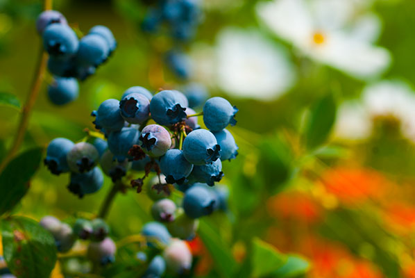 132_blueberries_7807