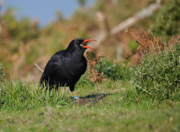 Chough making the most of a large beetle (Liz Corry)