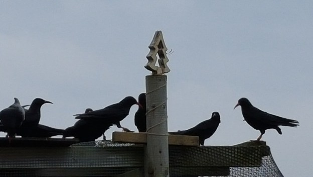 The Jersey choughs admiring their Christmas tree.