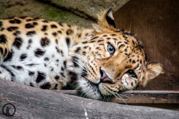 Leopard im Dortmunder Zoo