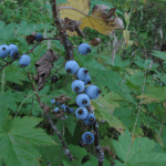 """Blue"" Berries"