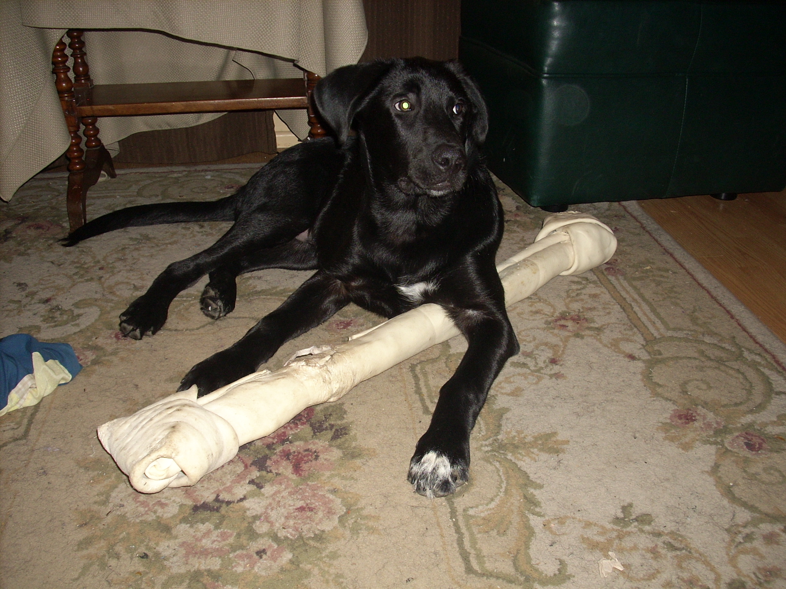 Comfy Bone Is Over Three Feet He Carries It Around Like Nothing Lab Mix Puppy Christi Blog Mastiff Lab Mix Photos Mastiff Lab Mix Tan bark post Mastiff Lab Mix