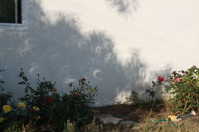 weeded rose garden and shadows...