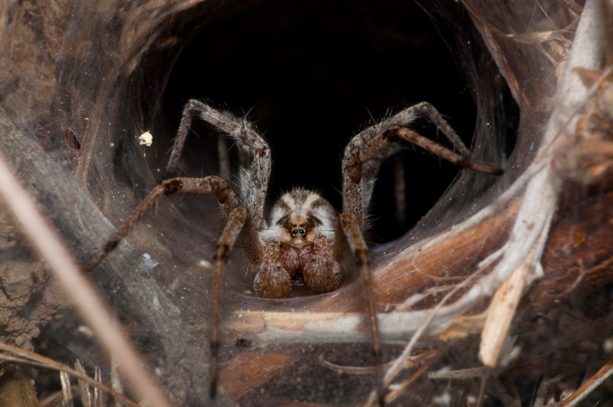 The Myth of the Brown Recluse Spider Bite