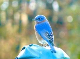 5B. Bluebird.JPG