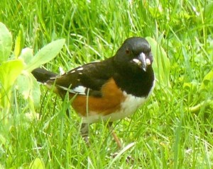 28. rufous-sided towhee – Version 2