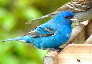 31E. Indigo bunting – Version 2