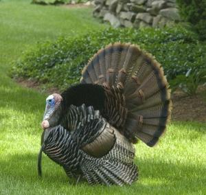 wild-turkey-1250281-m