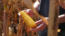 Corn Right Off the Stalk