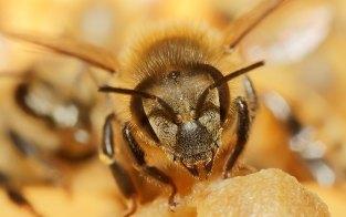 Sem abelhas não tem polinização, nem agricultura