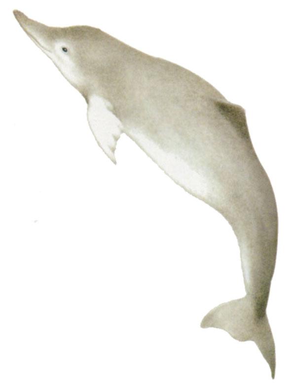 delfino-bianco