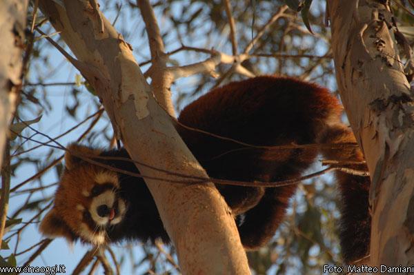 panda-rosso-2