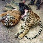 tigre003