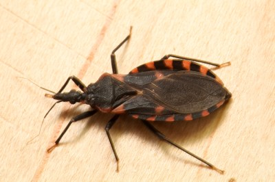 Kissing bug identification requires closer look - Insects in the City