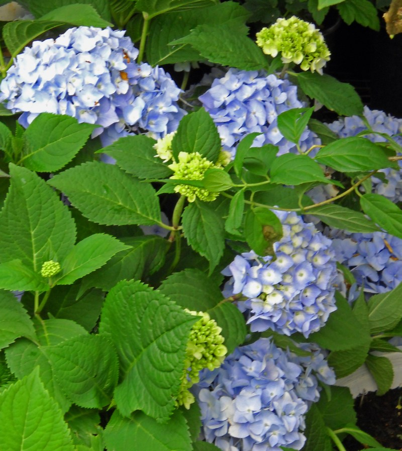 Large Of Hydrangea Not Blooming