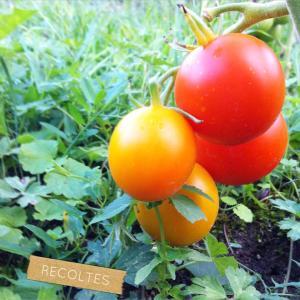 Les tomates du jardin ! tomates clairesblog jardin potager