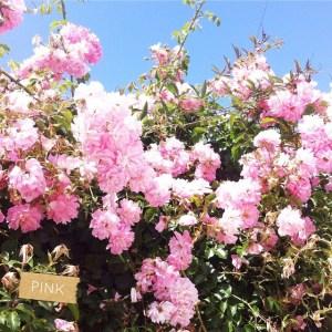 fleurs roses pink clairesblog bretagne