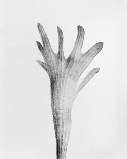 Robert Voit, Platycerium Bifurcatum