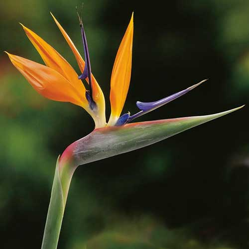 Strelitzia Bird of Paradise   Clarenbridge Garden Centre strelitzia bird of paradise   unusual plants ireland   clarenbridge online  garden centre