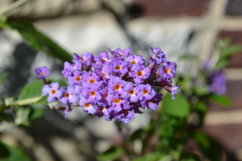 Medium Of Dwarf Butterfly Bush